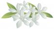 citrusových květů