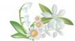 bílých květů