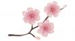 třešňových květů